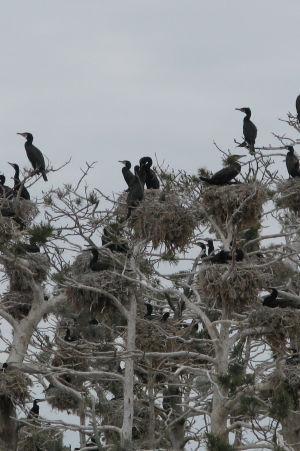 I skarvkolonin i Velkua bor över 2000 skarvar på tre små öar.