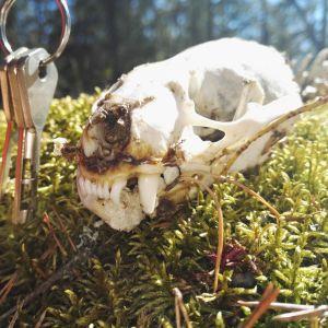 David och Ulrika Nygren hittade delar av ett skelett ute på en holme i Österbotten i vår. Vad är det för djur som antagligen blivit uppäten av havsörnen som finns i trakten?