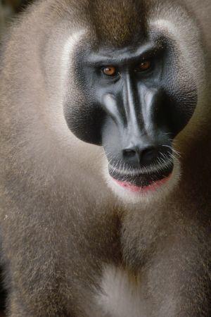Dokumentti Biokon saaren harvinaisisti drilli-apinoista.