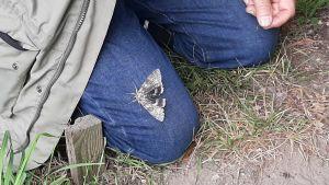 Blåbandat ordensfly, en stor fjäril med gråaktiga vingar och en blå bakvinge, sitter på ett par jeans.