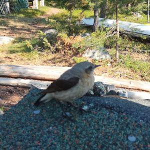 Vilken orädd fågel har Johan fotograferat på Hönsholmen i Sibbo
