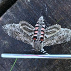 Erik har fotograferat denna fjäril. Är det den som på finska heter syreenikiitäjä?