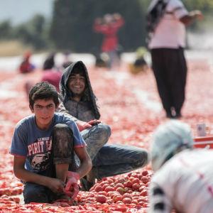 Syriska flyktingar utgör den största delen av säsongarbetskraften vid tomatodlingar i Turkiet. Här torkas tomater i solen i Izmir 1.8.2019. Tomaterna halveras, saltas och får ligga i solen en vecka innan de kyls ner och förpackas.