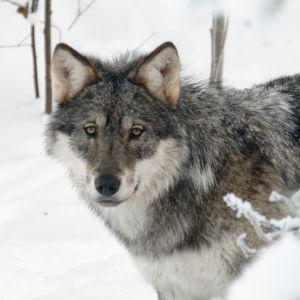 En varg tittar fram bakom en sten i en snöig skog.