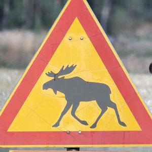 En älg står bakom ett varningsmärke för älgar.