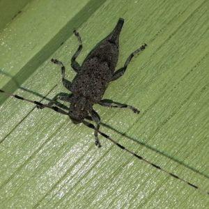 En insekt med långa spröten.