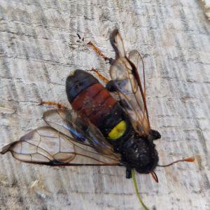 Fyra bilder på en stor svartgul insekt.