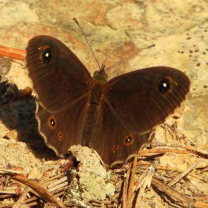 Vad är detta för en fjäril, hur allmän är den, vilken är värdväxten och vad lever den vuxna fjärilen av? undrar Christel.