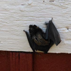 Två bilder på en fladdermus på en husvägg.