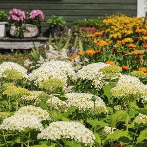 Blommor i vitt, orange, rött och rosa i lummig trädgård, i bakgrunden hörnet av en grönmålad stuga.