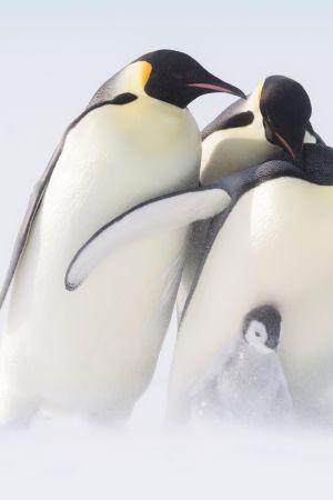 Luontosarja viiden eläinperheen laumaelämästä, henkiinjäämiskamppailusta ja valtataistelusta.