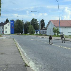 Kaksi poroa kulkee tyhjällä viitostiellä kirkonkylällä jossain päin Suomea. Kuva elokuvasta Kansanradio - runonlaulajien maa