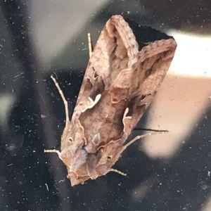 Vad är det för fjäril som hittas i Munksnäs in närheten av tallar undrar en vetgirig pensionär.