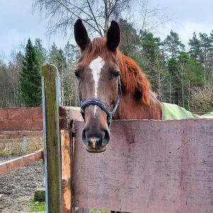 En häst med grönt täcke står i en hage och tittar över staketet.