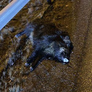 Ett överkört vildsvin som orsakade en seriekrock på Åboleden.
