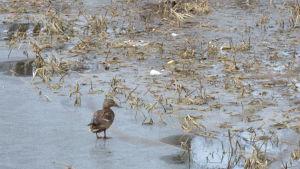 En gräsand på isen vid Aurlax badstrand