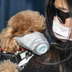 Koiralla ja omistajalla kummallakin hengityssuojaimet Kiinassa koronaviruspandemian aikaan helmikuussa 2020.