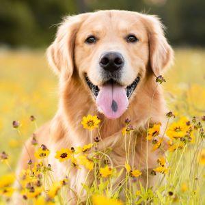 En Golden retriever-hund sticker ut tungan och tittar mot kameran på en äng med gula blommor.