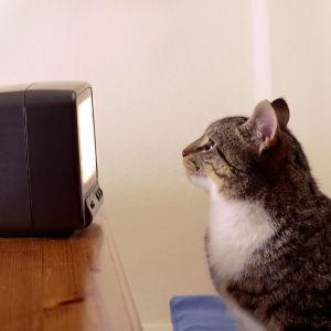 Kissa katsoo televisiota