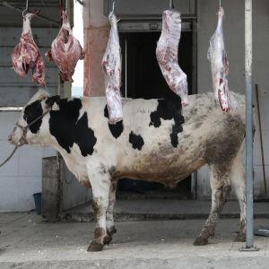 Svartvit ko står på ett betonggolv och ovanför den hänger köttstycken från en ribba i takhöjd taket.