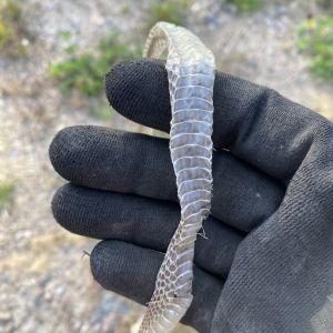 Två bilder på ormskinn och handske.