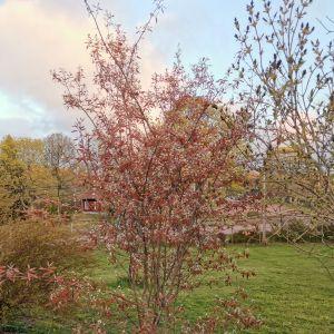 Två bilder på ett träd med röda blad.