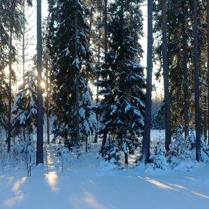 Aurinko paistaa lumisen metsän läpi