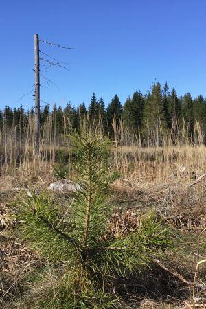 Ett område som kalavverkats för några år sedan. Det växer gräs och några små trädplantor skymtar.