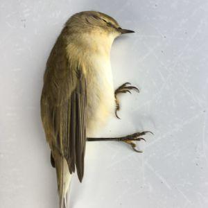 Två döda småfåglar.