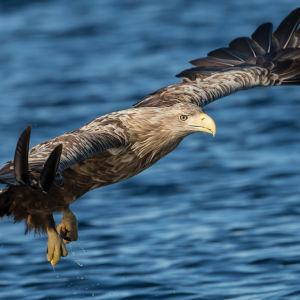 en havsörn som flyger över vattnet