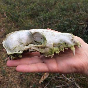 Katariina hittade denna skalle i skogen. Hör den till grävling, mårdhund, hund eller kanske räv?