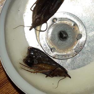Vad e de här för flygande stekel eller mygga? undrar Ruben.