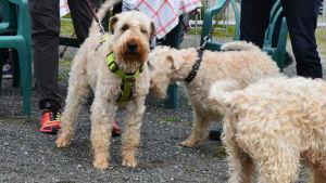 En veteterrier står kopplad tillsammans med två andra hundar av samma ras.