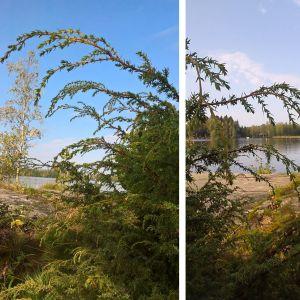 Marianne och Torsten har sett en enbuske med toppar som liknar hängen. Vad beror det på?
