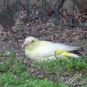 Är det en grönfink, som satt vid matplatsen, undrar Kerstin.