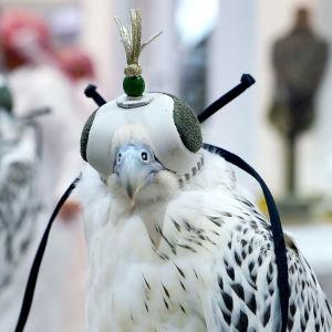Tunturihaukka Dohan haukkamessuilla huppu päässä.
