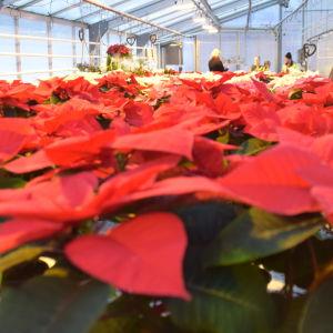 Stort hav av röda julstjärnor i ett växthus.