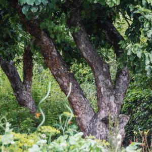 Äppelträd i grönskande trädgård.
