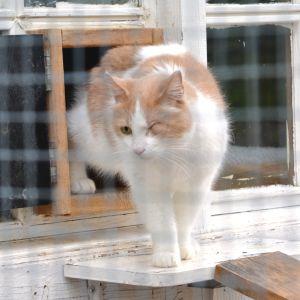 En vit-beige katt med ett öga i Lovisa katthus.