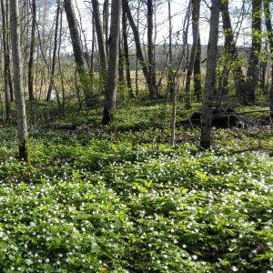 Vitsippor i en skog.