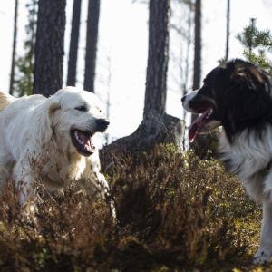 Två hundar leker i skogen.