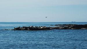Sälkoloni på klippor mitt i havet.