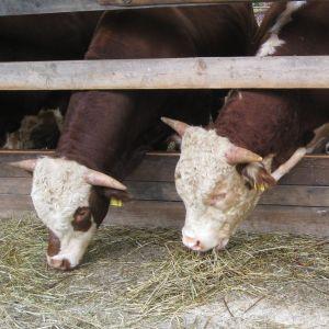 Kor vid Mörby gård