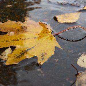 Kellastuneita puista pudonneita lehtiä lätäkössä