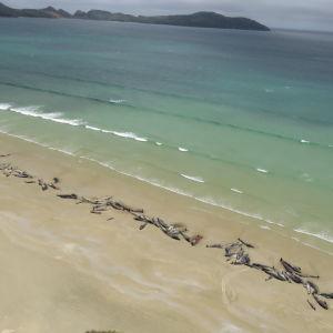 Flera döda valar ligger på rad vid en strand.
