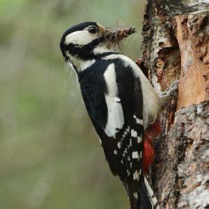 En hackspett vid ett hål i ett träd med munnen full av något som ser ut som små kvistar.