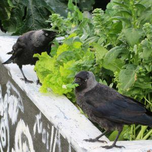 Kajorna som trädgårdsmästare provsmakar salladen vid odlingslådorna på västra åstranden i Borgå