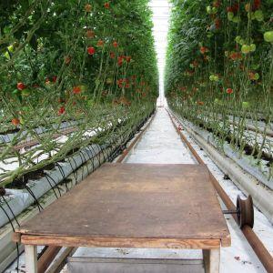 Rader av tomatplantor i ett växthus.