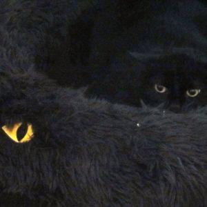 Den svarta katten Mustikka sover i en svart kattformad bädd i Borgånejdens djurskyddsförenings katthus i Tolkis