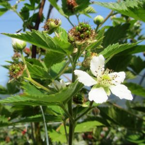 Rune Drockilas växthusodlade taggfria björnbärsplantor har vita blommor